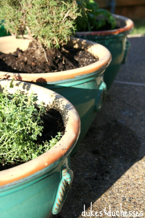 planted herb pots