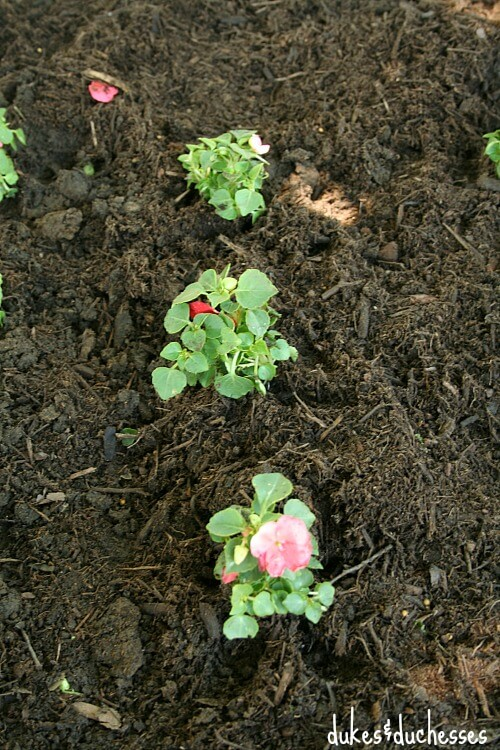 impatiens for shady garden