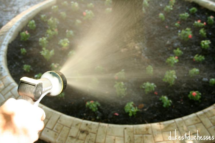 spraying liquafeed on garden