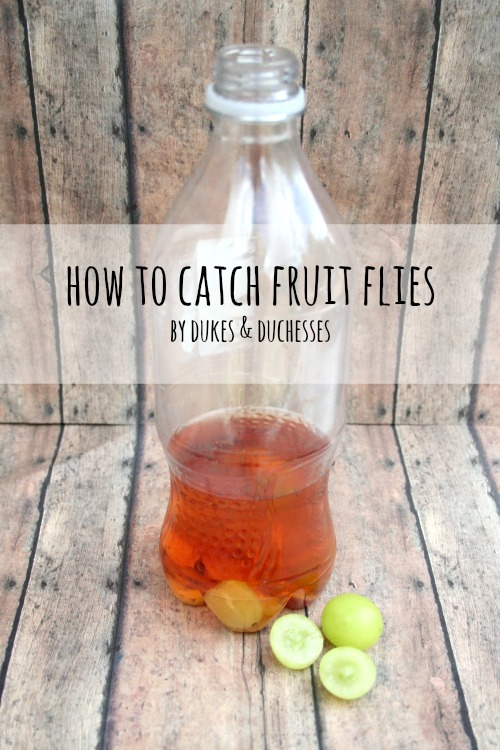 how to catch kill fruit flies