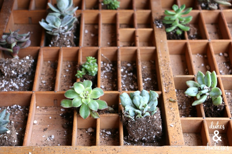 succulent garden in vintage letterpress drawer