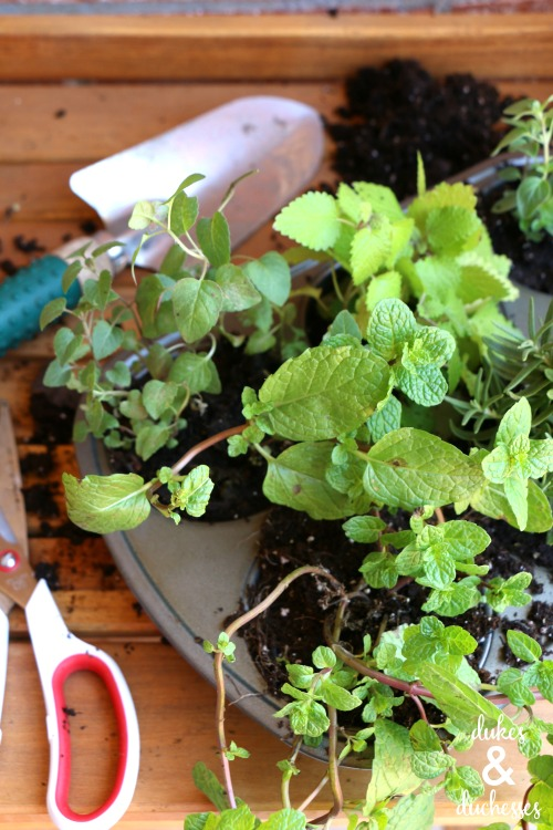 herb plants for the garden