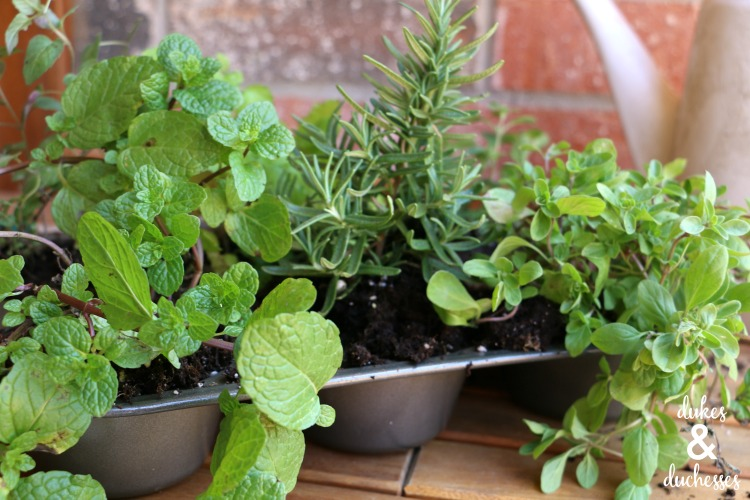 upcycled muffin tin herb garden