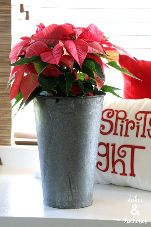 poinsettia in vintage sap bucket
